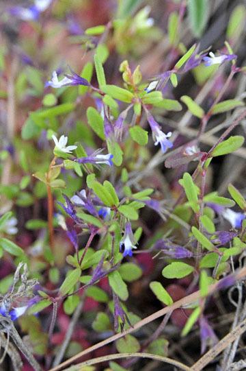 blog 47 Prineville, Ochoco NF, Maiden Blue Eyed Mary (Collinsia parviflora) 2_DSC0551-4.30.16.(2).jpg