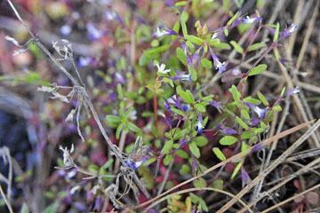 blog 47 Prineville, Ochoco NF, Maiden Blue Eyed Mary (Collinsia parviflora)_DSC0550-4.30.16.(2).jpg