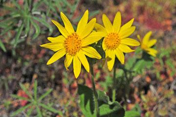 blog 47 Prineville, Ochoco NF, Heartleaf Arnica (Arnica cordifolia), OR_DSC0549-4.30.16.(2).jpg