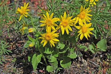 blog 47 Prineville, Ochoco NF, Heartleaf Arnica (Arnica cordifolia), OR_DSC0543-4.30.16.(2).jpg