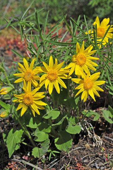 blog 47 Prineville, Ochoco NF, Heartleaf Arnica (Arnica cordifolia), OR_DSC0542-4.30.16.(2).jpg