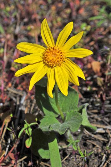 blog 47 Prineville, Ochoco NF, Cusick's Sunflower, OR_DSC0555-4.30.16.(2).jpg
