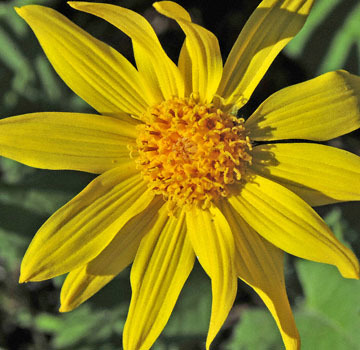 blog 47 Prineville, Ochoco NF, Cusick's Sunflower, OR_DSC0553-4.30.16.(2).jpg