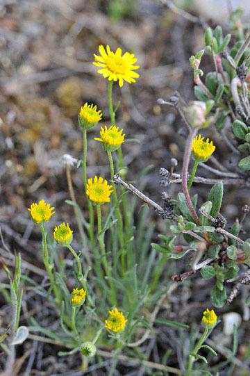 blog 48 Prineville, Ranch & Milou, Arnica ?, OR_DSC0593-5.01.16.jpg