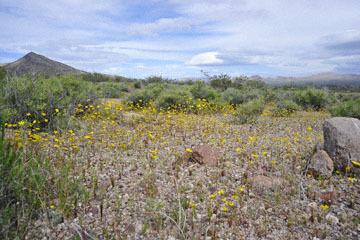 blog 13 95S-178W, Shoshone to Badwater, California Coreopsis, CA_DSC7304-3.31.17.jpg