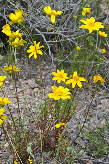 blog 13 95S-178W, Shoshone to Badwater, California Coreopsis, CA_DSC7303-3.31.17.jpg