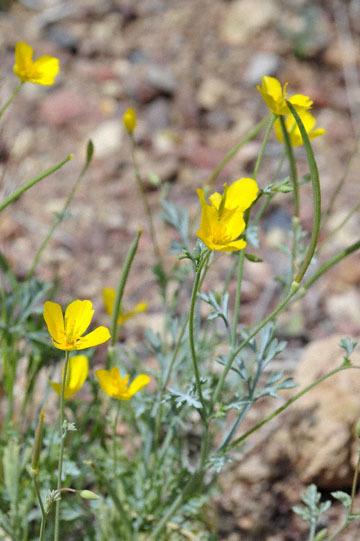 blog 13 95S-178W, Shoshone to Badwater, Pygmy Poppy, CA 2_DSC7317-3.31.17.jpg