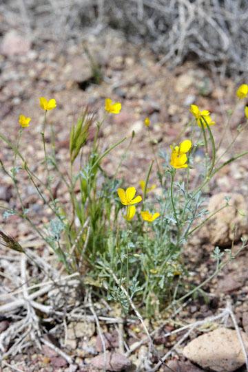 blog 13 95S-178W, Shoshone to Badwater, Pygmy Poppy, CA_DSC7316-3.31.17.jpg