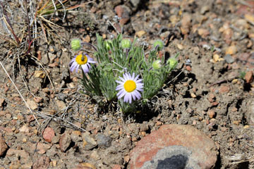 blog 49 Rimrock Springs Trail, Crooked River National Grassland, Aster ?, Madras, 26W-97S from Prineville to Culver City, OR 2_DSC0681-5.2.16.(1).jpg