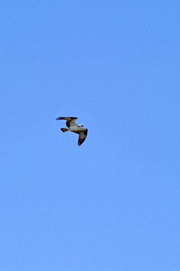 blog 50 Smith Rock State Park (26E-Lone Pine Road), Osprey, OR_DSC0736-5.02.16.(2).jpg