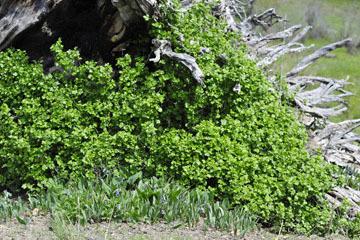 blog 51 Prineville, 26E Ochoco NF, Cusick's Lungwort (Mertensia cusickii) & Currant Shrub, OR_DSC0842-5.3.16.jpg