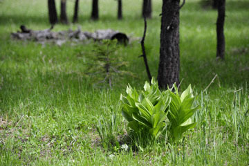 blog 51 26E Ochoco NF, Corn Lily, OR_DSC0852-5.3.16.jpg