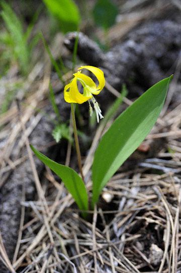blog 51 26E Ochoco NF, Glacier Lily (Erythronium grandiflorum), OR_DSC0877-5.3.16.jpg