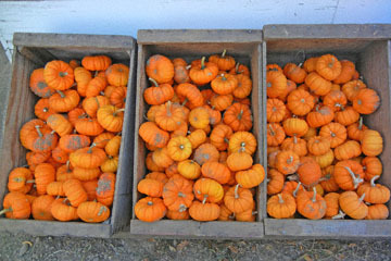 blog (4x6@300) Yoko CP12 Pumpkins, Gowan's, Anderson Valley, CA_DSCN6182-10.15.17.jpg