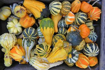 blog (4x6@300) Yoko CP12 Pumpkins, Gowan's, Anderson Valley, CA_DSCN6184-10.15.17