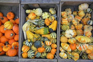 blog (6x4@300) Yoko CP12 Pumpkins, Gowan's, Anderson Valley, CA_DSCN6183-10.15.17.jpg