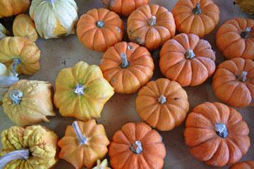 blog (4x6@300) Yoko CP12 Pumpkins, Gowan's, Anderson Valley, CA_DSCN6179-10.15.17.jpg