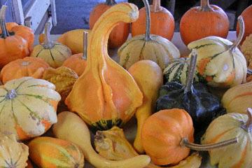 blog (4x6@300) Yoko CP12 Pumpkins, Gowan's, Anderson Valley, CA 2_DSCN6178-0.15.17.jpg