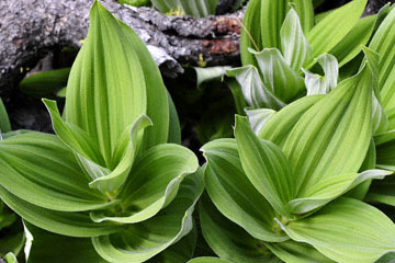 blog 51 26E Ochoco NF, Corn Lily, OR_DSC0890-5.3.16.jpg