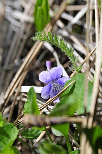 blog 51 26E Ochoco NF, Northern Bog Violet (Viola nephrophylla), OR 2_DSC0888-5.3.16.jpg