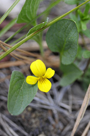 blog 51 26E Ochoco NF, Prairie Violet ?, OR_DSC0899-5.3.16.jpg