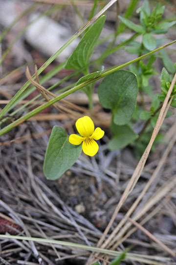 blog 51 26E Ochoco NF, Yellow violet, OR_DSC0898-5.3.16.jpg