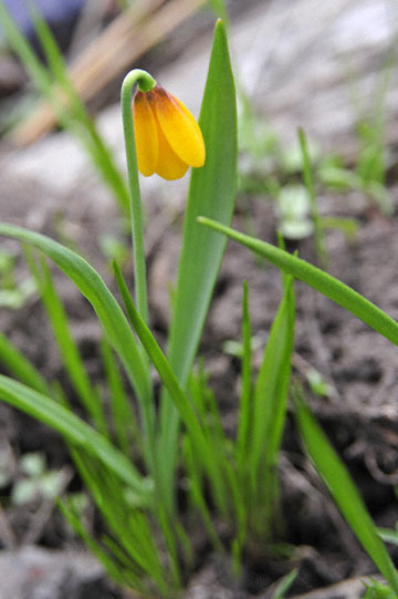 blog 51 26E Ochoco NF, Yellowbells | Yellow Fritillary (Fritillaria pudica), OR_DSC0916-5.3.16.jpg