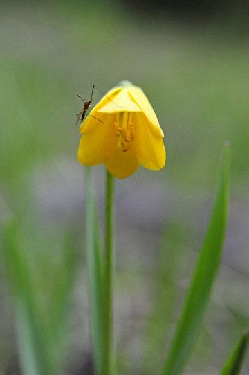 blog 51 26E Ochoco NF, Yellowbells | Yellow Fritillary (Fritillaria pudica), OR_DSC0913-5.3.16.jpg