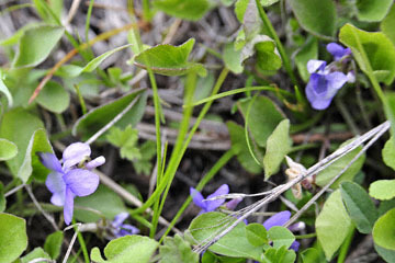 blog 51 26E Ochoco NF, Northern Bog Violet, OR_DSC0951-5.3.16.jpg