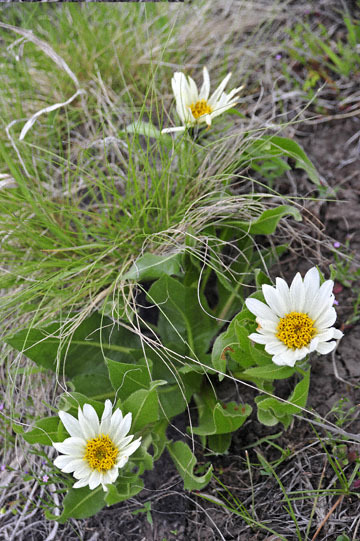 blog 51 26E Ochoco NF, White Mule Ears, OR_DSC0952-5.3.16.jpg