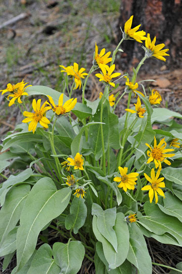 blog 52 26E Ochoco NF, Carey's Balsamroot (Balsamorhiza careyana), OR_DSC1308-5.6.16.(1).jpg