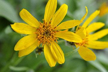 blog 52 26E Ochoco NF, Carey's Balsamroot (Balsamorhiza careyana), OR_DSC1310-5.6.16.(1).jpg