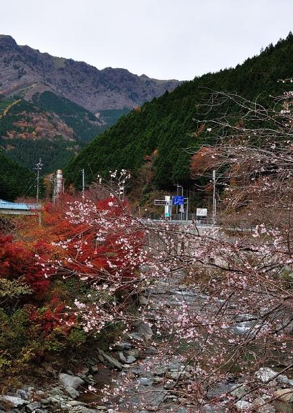 6桜17.11.17