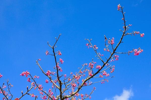 3河津桜18.02.05