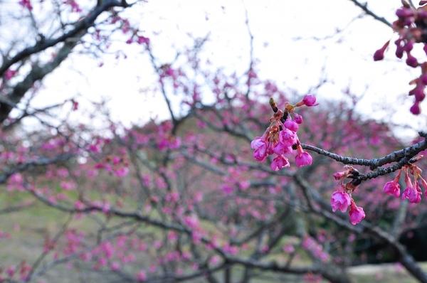 2河津桜18.02.05
