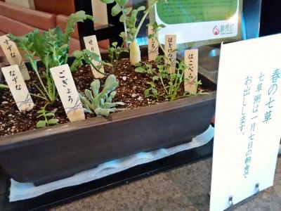 春の七草の鉢植え